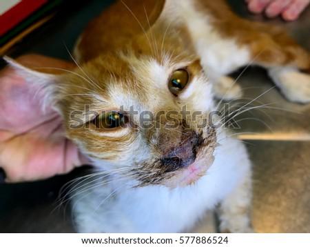 Cat Clinical Sign Feline Panleukopenia Virus Stock Photo