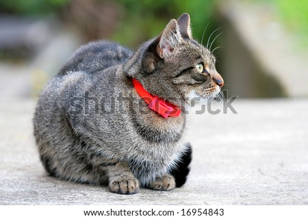 cat with the red collar - stock photo
