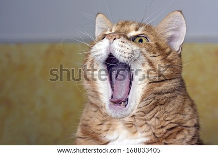 Cat yawning. Also useful for yelling or laughing concept - stock photo