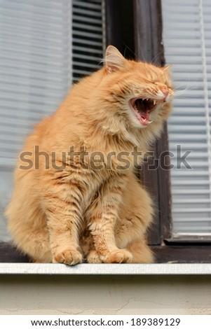 Cat yawns on the balcony - stock photo