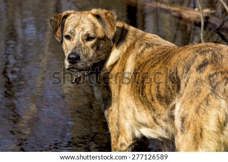 Catahoula leopard hound with black stripes at a vernal pool in Shenipsit State Forest, Somers, Connecticut. - stock photo