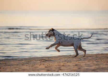 catahoula puppy running on a beach at sunset