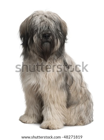 Catalan Sheepdog, 10 months old, sitting in front of white background - stock photo