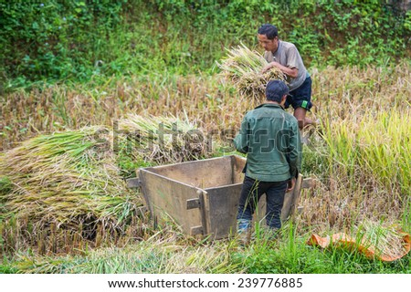 CATCAT, VIETMAN - SEP 20, 2014: Unidentified Hmong people work in the rice field in CatCat village, Vietnam. Hmong is a minority ethnic group of Vietnam