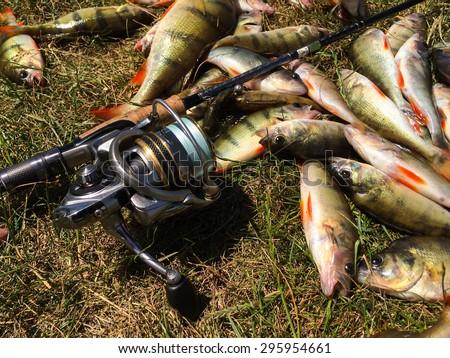 Catch fisherman perches. fresh fish - stock photo
