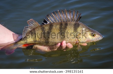 Catch & release for big perch - stock photo