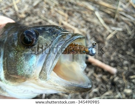 catched Perch - stock photo