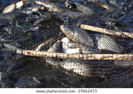 Catching of a carp, a silver carp, a white cupid, live fish in a pond Cyprinus carpio Linnaeus, Hypophthalmichthys molitrix, Ctenopharyngodon idella - stock photo