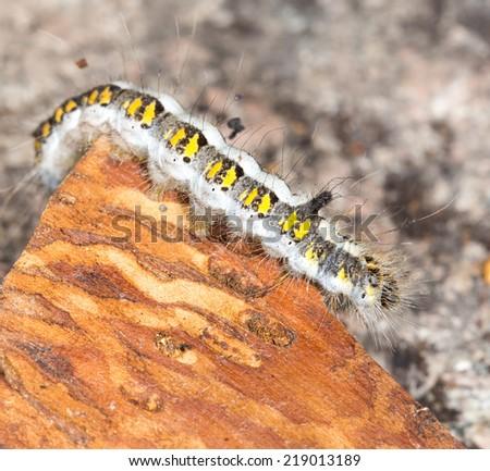 caterpillar in nature. close-up - stock photo