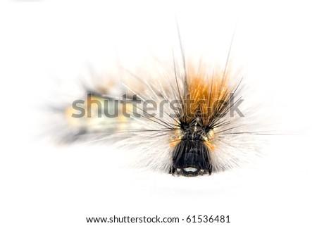 caterpillar of hyphantria cunea - stock photo