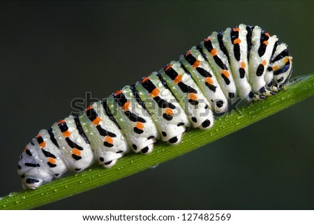 caterpillar of Papilionidae in the head fennel - stock photo