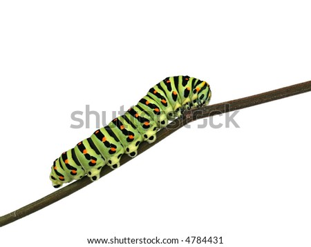 Caterpillar of swallowtail butterfly - Papilio machaon larva - stock photo
