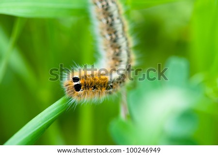 Caterpillar on green leaf. Macro close-up - stock photo