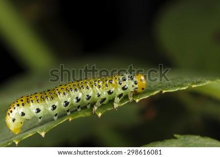 Caterpillar on leaf. - stock photo