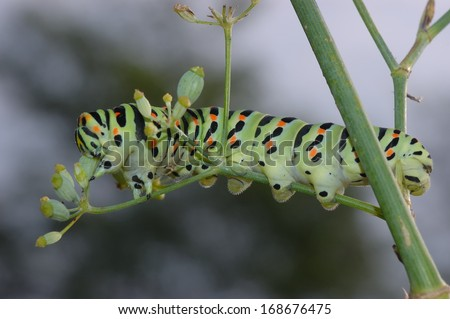 caterpillar Papilio machaon butterfly feeding on a fennel plant