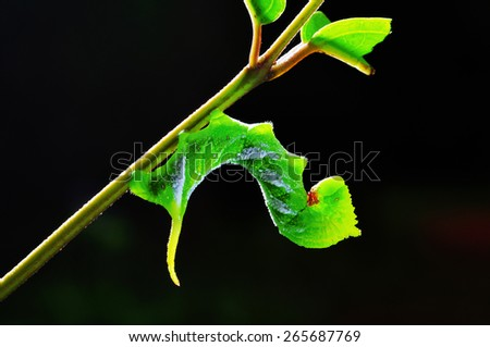 Caterpillar perched on tree branch. - stock photo