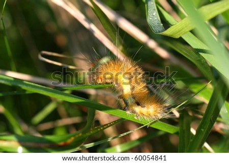 Virginian Tiger Moth Caterpillar Poisonous