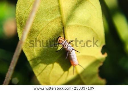 caterpillar worm on leaf in the garden - stock photo