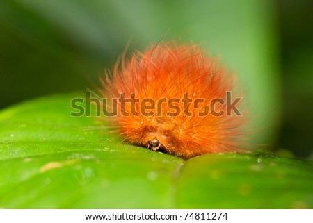 CATERPILLARS ARE THE LARVAL FORM OF A MEMBER OF THE ORDER LEPIDOPTERA, THE INSECT ORDER COMPRISING BUTTERFLIES AND MOTHS, AMAZONIAN RAINFOREST   - stock photo