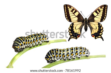 Caterpillars of the swallowtail (Papilio machaon) and the adult butterfly - stock photo