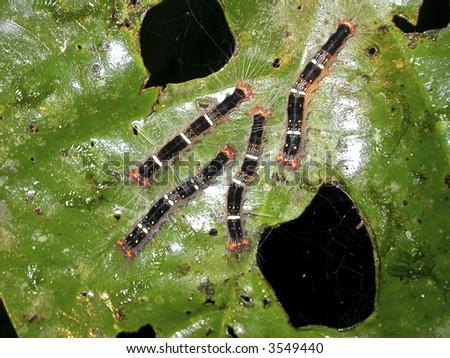 caterpillars on a rainforest leaf - stock photo