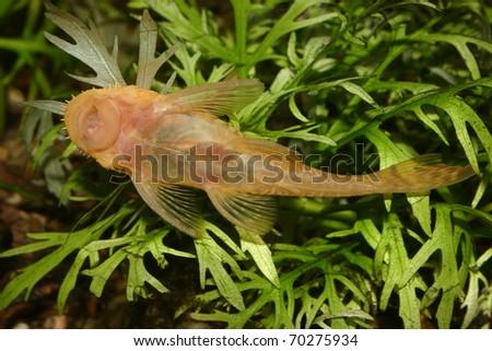 Catfish (Ancistrus spec.) in a fish tank - stock photo