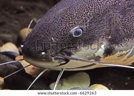 Catfish face - stock photo