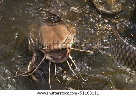 Catfish feeding - stock photo