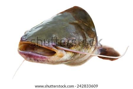 catfish isolated stock images royaltyfree images