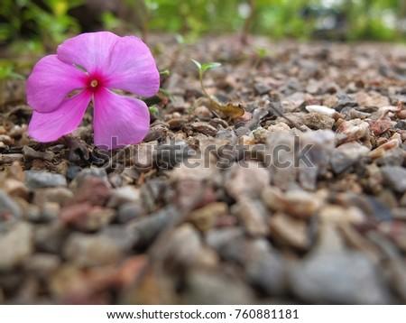 Catharanthus roseus flowers on rocky ground stock photo download catharanthus roseus flowers on rocky ground pink catharanthus roseus on white rock background mightylinksfo
