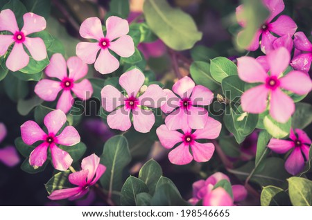 Catharanthus roseus or Periwinkle or Madagascar rosy periwinkle or Cape periwinkle or rose periwinkle or rosy periwinkle or and Old-maid flower vintage - stock photo