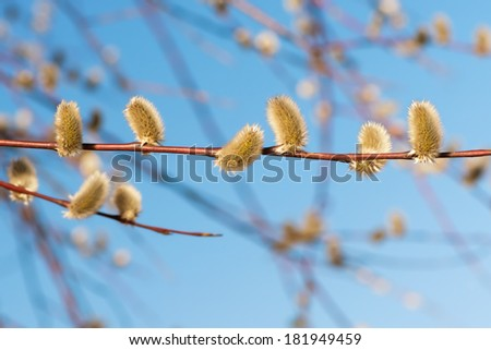 Catkins on a Willow twig against a blue sky during spring - stock photo