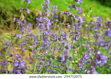 Catnip flowers (Nepeta ) in country rustic garden. - stock photo