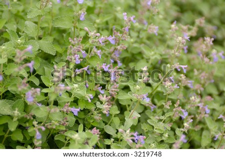 Catnip in bloom, shot with shallow depth of field. - stock photo