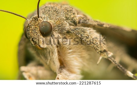 Catocala elocata - stock photo