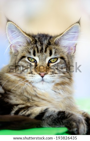 Cats and dogs: brown-white tabby Maine Coon cat, close-up portrait, selective focus, natural blurred background