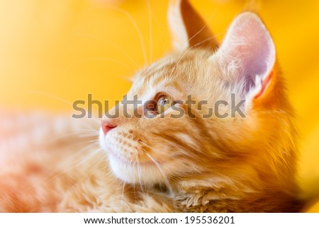 Cats and dogs: red-white tabby Maine Coon cat, close-up portrait, selective focus, natural yellow blurred background, sunlight effect - stock photo