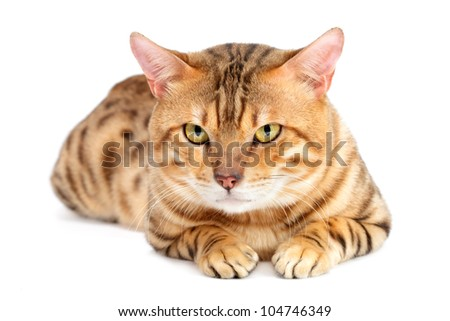Cats  Bengal breed . Isolated on white background.