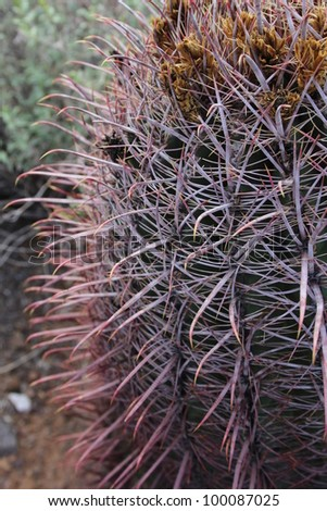 Cats Claw Cactus Closeup - stock photo
