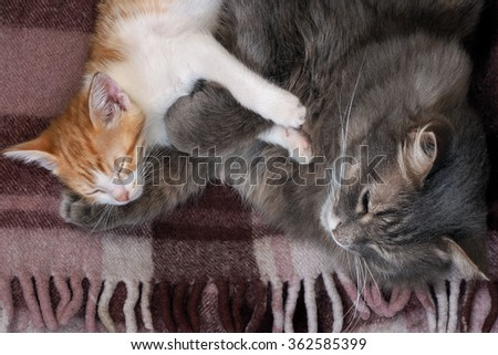 Cats sleep together on plaid. Big gray cat mom and little kitten, white with red. Pets. Mom hugging baby gently and cuddle. Beautiful fur. Snouts large cats. Mom loves kitty cat - stock photo