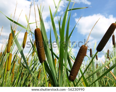 Cattails and Reeds - stock photo