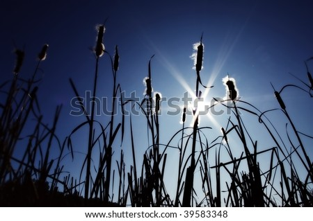 Cattails silhouette - stock photo