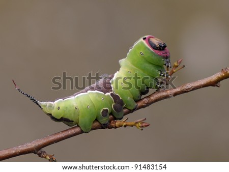 Catterpillar of the Cerura vinula Butterfly on a little piece of brench - stock photo