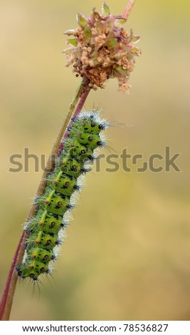 Catterpillar of the Emperor Moth (Saturnia pavonia) climbing towards Salad Burnet (Sanguisorba minor)