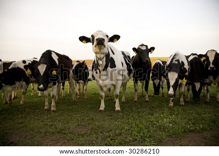 cattle - stock photo