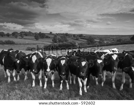 Cattle against a black and white landscape - stock photo
