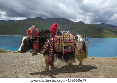Cattle and lakes in Tibet - stock photo