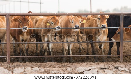 Cattle Chewing Gnawing Metal Fence Rail Farm Ranch Livestock - stock photo