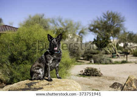 Cattle Dog Healer outdoors at park - stock photo