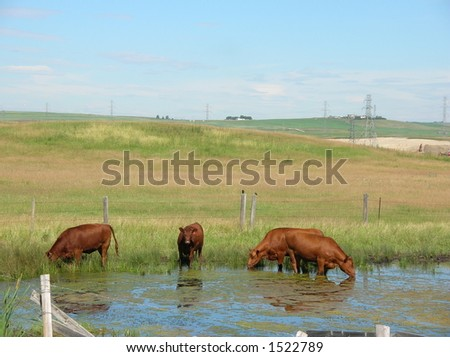 cattle drinking